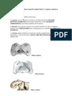Anatomía comparativa Esqueleto Axial Parte II  Equino