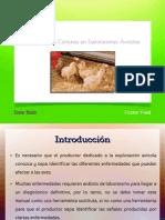 Enfermedades Mas Comunes en Explotaciones Avicolas