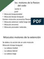 Los músculos  motores de la flexion
