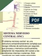 Sistema Nervioso 2
