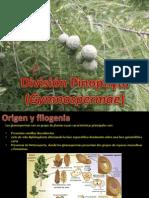 pinophyta