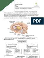 Guía de Biología 3º Medio Sistema Nervioso Central