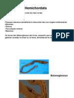 Hemicordados, Protocordados e Cordados[2]
