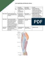 Músculos Superficiales del Miembro Inferior