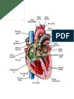 Activación eléctrica del corazón