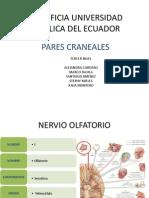 Peres Craneales