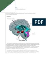 Cerebro Partes y Funciones 2
