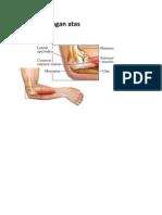 Anatomi lengan atas
