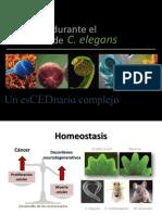 Apoptosis durante el desarrollo de C. elegans.
