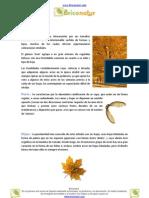 Arces (Acer sp.)
