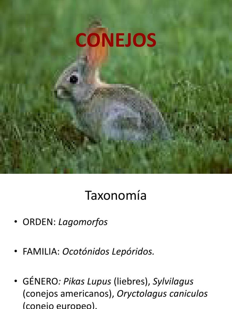 Conejo (1)