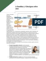 chvr Efectos de la Insulina y Glucágon sobre el Metabolismo