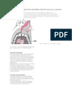 Anatomia y fisiología de las glandulas salivales mayores y menores