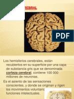 Corteza Cerebral Exposicion