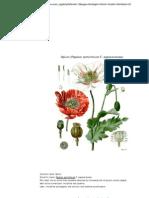 Opium (Papaver Somniferum F..