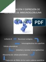 ORGANIZACIÓN Y EXPRESIÓN DE LOS GENES DE INMUNOGLOBULINA