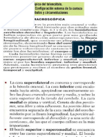 Anatomia Macroscopica Del Telencefalo