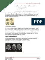 Genus Sphaeroidinella, Sphaeroidinellopsis, Pulleniatinna,Catapcydrax PRINT