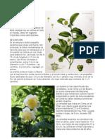 El cultivo de la planta del Té - Camellia sinensis