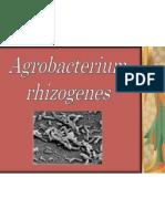 Agrobacterium rhizogenes