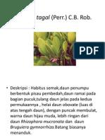 Ceriops tagal