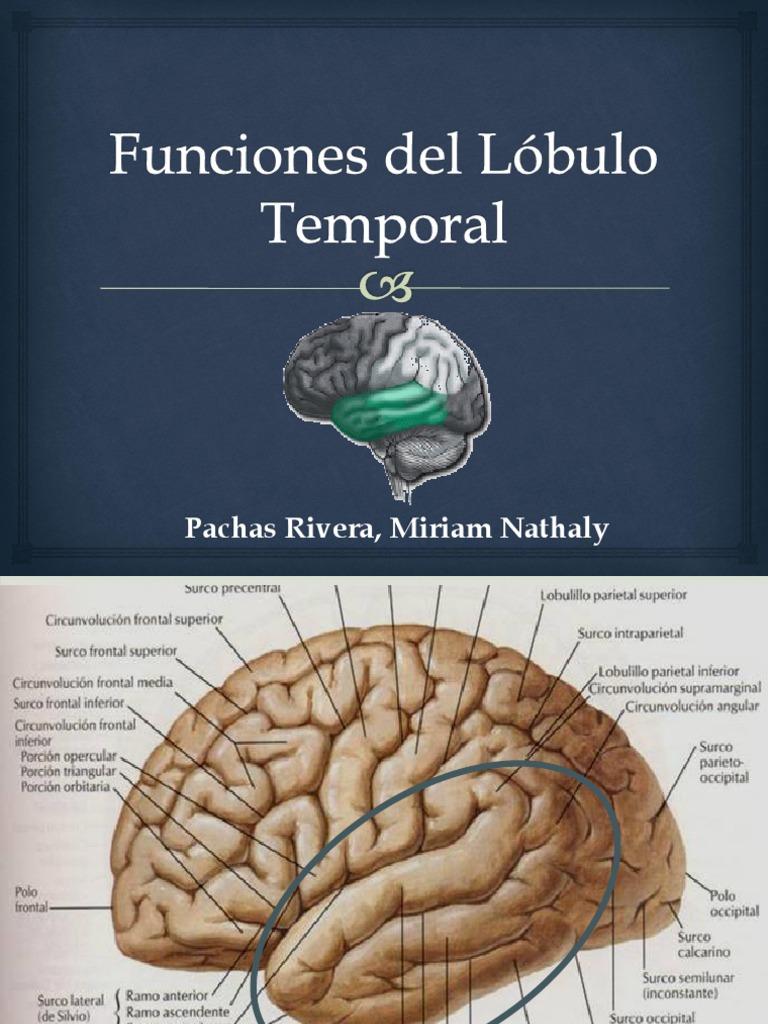 Funciones Y Patología Del Lóbulo Temporal Expo Con El Dr Polar Lóbulo Temporal Percepción Visual
