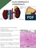 glandulasadrenalesosuprarrenales-110506173202-phpapp02.pptx