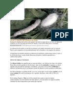 Larva y Capullo Del Gusano de Seda