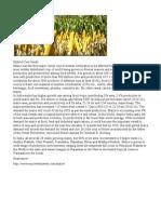 Hybrid Corn Seeds