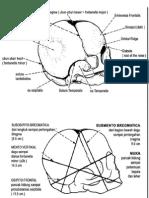 anatomi kepala bayi