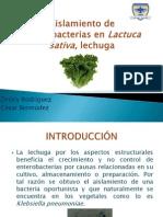 Aislamiento de Enterobacterias en Lactuca Sativa, Lechuga