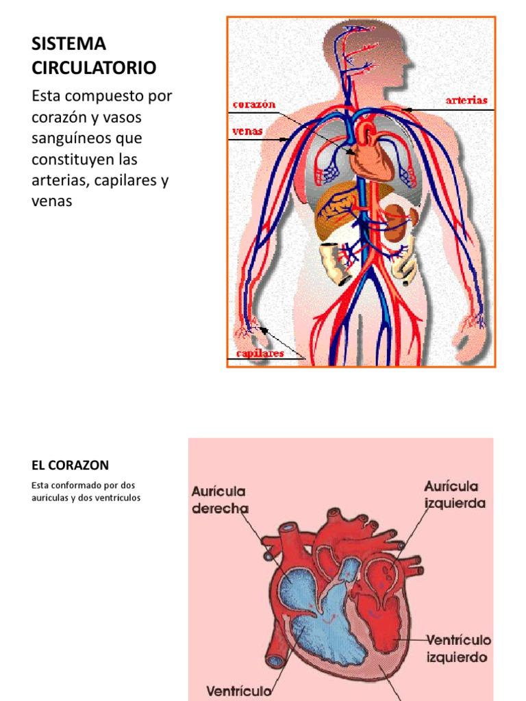 Increíble Arterias Del Sistema Circulatorio Fotos - Imágenes de ...