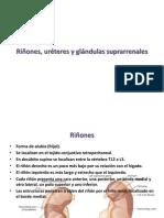 Riñones, uréteres y glándulas suprarrenales