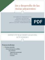 Formación y desarrollo de las estructuras adyacentes