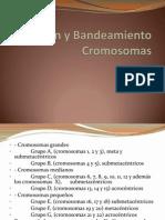 Bandeamiento Cromosomas