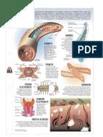 Anelidos Infografia PDF