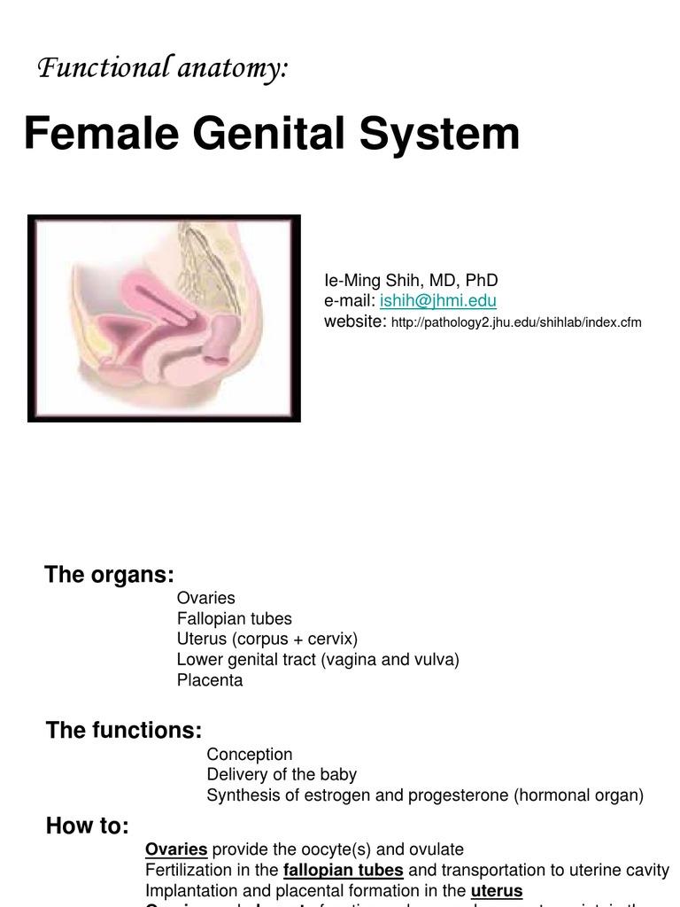 Functional Anatomy Of Female Genital Tract Ovary Implantation