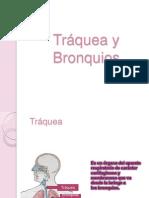Anatomia Traquea y Bronquios I
