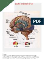 Mitos y Verdades Acerca Del Cerebro Humano
