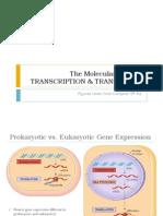 BIO3 - Transcription and Translation