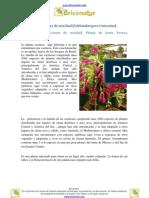 Cuidados del cactus de Navidad (Schlumbergera truncatus)