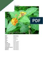 Klasifikasi Tumbuhan lantana camara