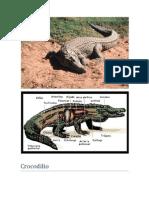 Croc Odilia