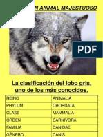 El Lobo, Un Animal Majestuoso