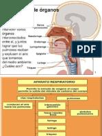 aparato respiratorio HUMANO