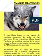 El Lobo, Un Animal Majestuoso
