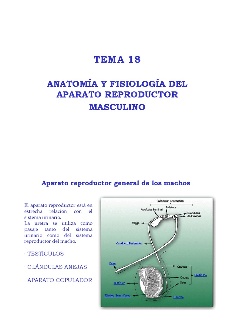 Excepcional Anatomía Del Sistema Reproductor Conejo Macho ...