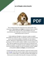 Educar al Beagle - como hacerlo