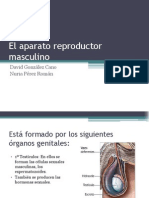 El Aparato Reproductor Masculino Ppt