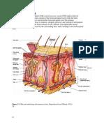 Anatomyfaal Brain